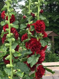 Taken today. Hollyhocks.